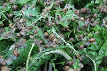 Cría de caracoles (Helicicultura)